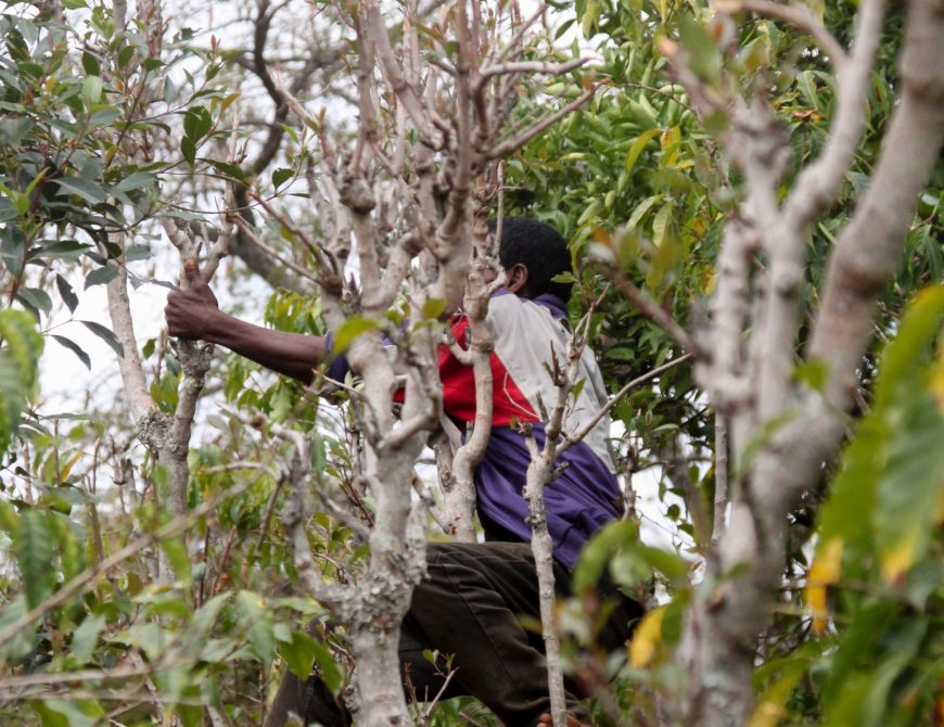 """""""Khat"""" it Out: Is the Narcotic Plant Holding Back Djibouti's Development?"""