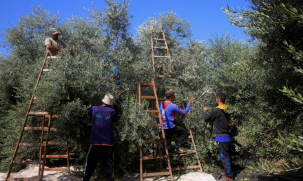 Climate Change Threatens Olive Trees Across the Mediterranean Region