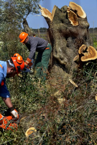 Workers cut down an olive tree in Oria. Officials in southern Italy cut down thousands of olive trees Gaetano Loporto.