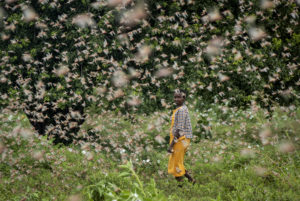 Desert locusts swarms in Kenya from Somalia and Ethiopia destroying farmland and threatening a vulnerable region. AP Photo Ben Curtis Jan. 2020
